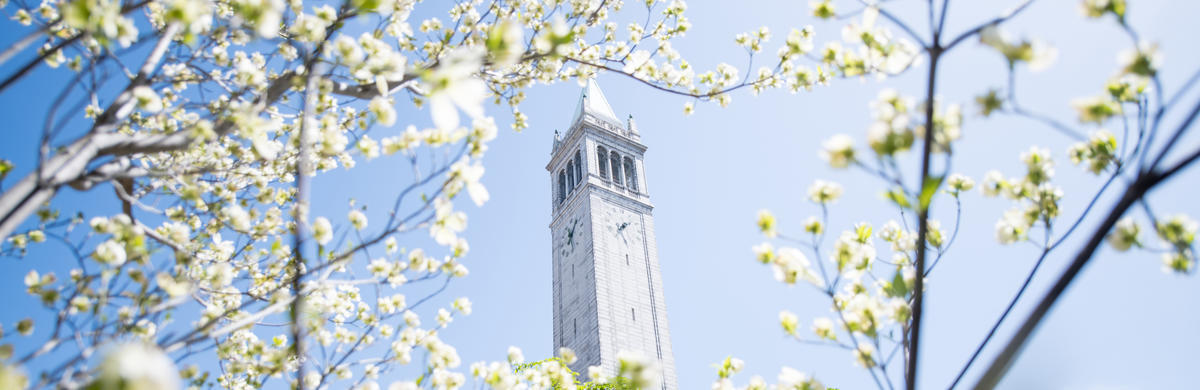 Campanile bright with white flowers